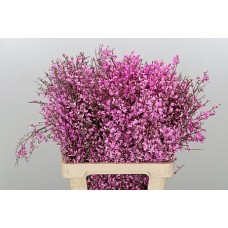 Genista colored lilac 65 cm