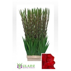 Gladiool gr fat boy 120 cm