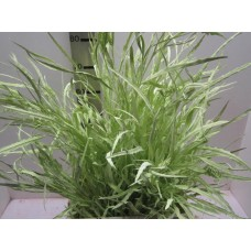 Buy Grevillea light green 80 cm wholesale dyed