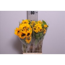Helianthus orange fire 80 cm