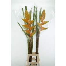 Heliconia mayan gold 120cm