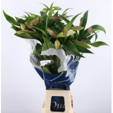 Lilium lf x or dancing lady 95cm