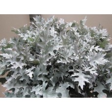 Oak leaves palus white 75 cm