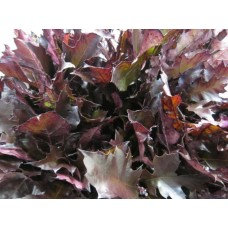 Oak leaves rubra aubergine 20 cm