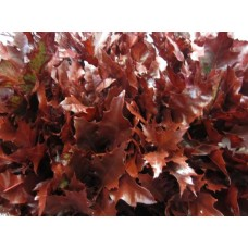 Oak leaves rubra bordeaux 20 cm