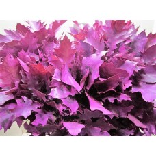 Oak leaves rubra cerise 20 cm