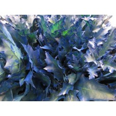 Oak leaves rubra dark blue 20 cm