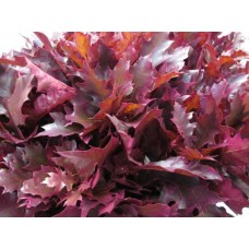 Oak leaves rubra dark cerise 20 cm