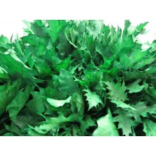 Oak leaves rubra dark green 20 cm