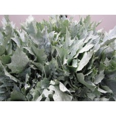 Oak leaves rubra green frost 20 cm