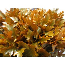 Oak leaves rubra orange 20 cm