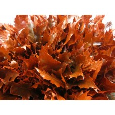Oak leaves rubra red 20 cm