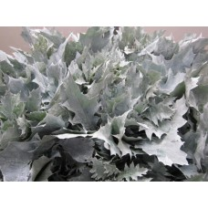 Oak leaves rubra white frost 20 cm