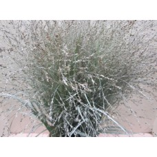 Panicum warrior white 50 cm