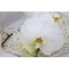 Phalaenopsis sensation white x heads