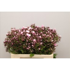 Phlox bright eyes 50 cm