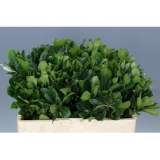 Pittosporum nurit isr 55 cm