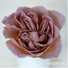 Rosa bg scented cafe latte 50 cm