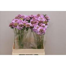 Scabiosa at soft scoop 60 cm