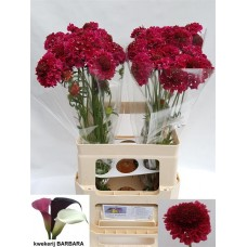 Scabiosa at tutti frutti scoop 60 cm