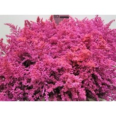 Buy Solidago cerise 80 cm wholesale dyed