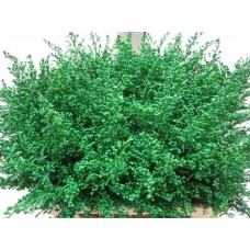 Solidago dark green 25 cm