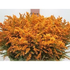 Buy Solidago orange 80 cm wholesale dyed