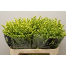Solidago romantic glory 80 cm