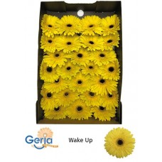 Gerb wake up box 45cm