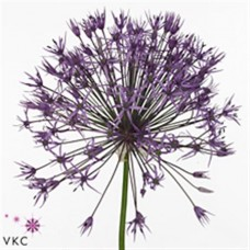 Allium Purple Rain 80cm