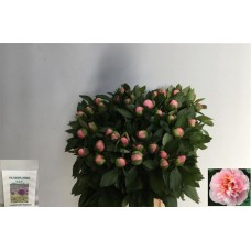 Paeonia Etched Salmon 60cm
