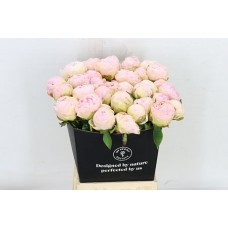 Paeonia Mothers Choice 40cm