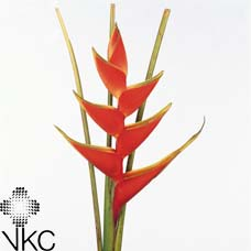 Heliconia Lobster 60cm