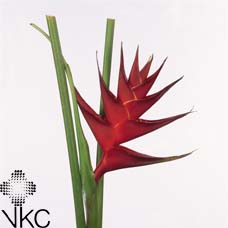 Heliconia Prince Of Darkness 60cm