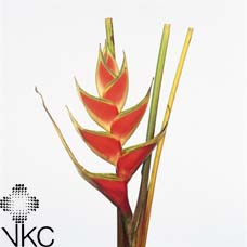 Heliconia Tropical Red 100cm