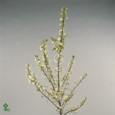 Prunus Gland Spray White 60cm