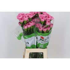 Di St Overig Paars 70cm