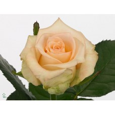 Rosa bg sleeping beauty 50cm