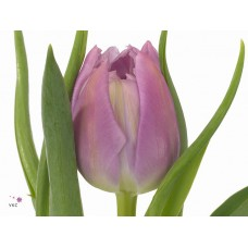 Tulip db double price 38 cm