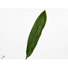 Cordyline green tie by air 80 cm