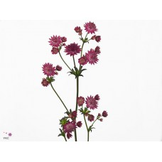 Astrantia major venice 50cm