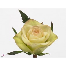 Rosa bg green fashion 40cm