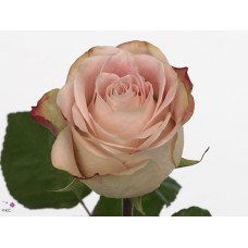 Rosa bg upper secret 50cm