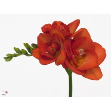 Freesia do red beauty 50 cm