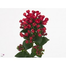 Bouvardia do diamond bordeaux 70 cm