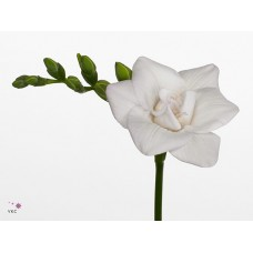 Freesia do diamond star 40 cm