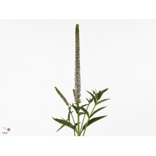 Veronica clea roswitha 60cm