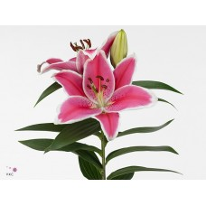Lilium or charming 70 cm
