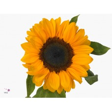 Helianthus vincent s choice 80cm