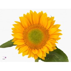 Helianthus vincent s fresh 60cm